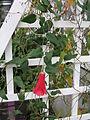 Lapageria rosea2.jpg