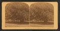 Large oak, 700 years old, Magnolia Cemetery, Charleston, S.C, from Robert N. Dennis collection of stereoscopic views 4.png