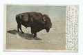 Largest Living Buffalo Bull, Yellowstone Ntl. Park, Wyo (NYPL b12647398-68036).tiff