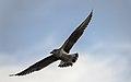 Larus michahellis juvenile in flight, Sète.jpg
