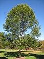 Lasdon Arboretum - Quercus acutissima - IMG 1515.jpg