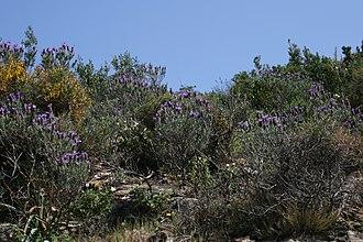 Lavandula stoechas - Image: Lavandula stoechas habitat 2