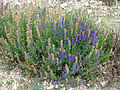 Lavandula latifolia (Vaucluse) (1).jpg