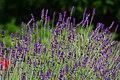 Lavendel6.jpg