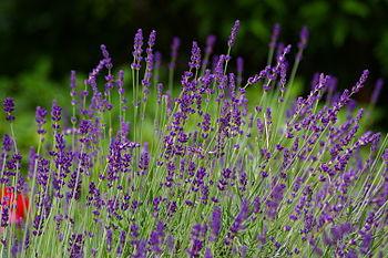 English: lavender