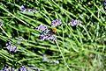 Lavender+bee03.JPG
