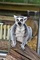 Lemur (23647786678).jpg
