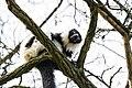 Lemur (26516312178).jpg