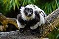 Lemur (26618995967).jpg