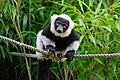 Lemur (36710232031).jpg