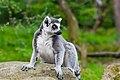 Lemur (37170431151).jpg