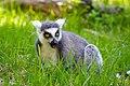 Lemur (39822794630).jpg