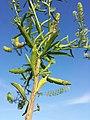 Lepidium virginicum (subsp. virginicum) sl17.jpg