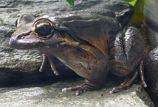 <i>Leptodactylus fallax</i> species of amphibian