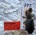 Lepyrus merkli 4 Holotype label.jpg