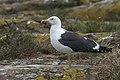 Lesser Black-backed Gull - Farne Is - FJ0A5652 (35937312180).jpg