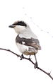 Lesser Grey Shrike, Lanius minor at Pilanesberg NP (15868578929).jpg