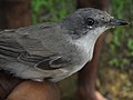 Lesser Whitethroat (4821093118).jpg