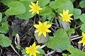 Lesser celandine - Ranunculus ficaria - panoramio.jpg