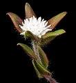 Leucopogon plumuliflorus - Flickr - Kevin Thiele (1).jpg