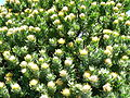 Leucospermum conocarpodendron - Table Mountain 11.JPG