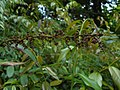 Leucothoe fontanesiana 2017-06-25 3025.jpg