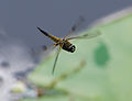 Libellula quadrimaculata in flight-pjt.jpg