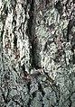 Lichen on Larch - geograph.org.uk - 463310.jpg