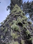 Lichen on a tree in Cloudcroft New Mexico.jpg