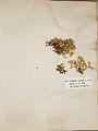 Lichenes Helvetici I II 1842 010.jpg