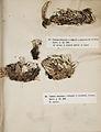 Lichenes Helvetici I II 1842 027.jpg