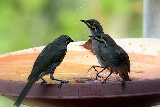 Lichenostomus chrysops -Laguna, New South Wales, Australia -bird bath-8 (1)