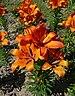 Lilium cultivar 2010 G1.jpg