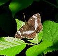 Limenitis camilla - Flickr - gailhampshire (2).jpg