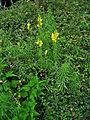 Linaria vulgaris 001.JPG