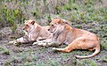 Lion couple, South Africa.jpg
