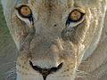 Lioness (Panthera leo) (6875405750).jpg