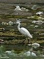 Little Egret (Egretta garzetta) (19681021359).jpg