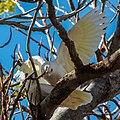 Little corella at Boulia Wildlife Haven Herbert St Boulia Queensland P1030431.jpg