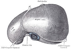 Drawing of the human liver.