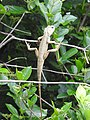 Lizard from Madayipara DSCN2648.jpg