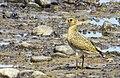 Ljungpipare European Golden Plover (14982373992).jpg