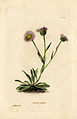 Loddiges 590 Erigeron alpinum drawn by W Miller.jpg