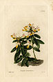 Loddiges 593 Polygala chamaebuxus drawn by W Miller.jpg