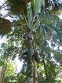 Lodoicea maldivica-Jardin botanique de Kandy (3).jpg