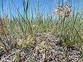 Lomatium foeniculaceum (27558361576).jpg