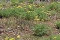 Lomatium grayi 7984.JPG