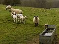 Londesborough livestock - geograph.org.uk - 1229706.jpg