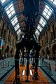 London - Cromwell Road - Natural History Museum 1881 by Alfred Waterhouse - Central Hall - View North on the Diplodocus' Frontside.jpg