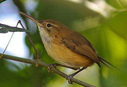 Long-billed Gnatwren.jpg